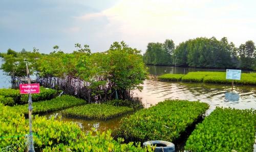 Lokasi budidaya pembibitan mangrove Kuala Langsa